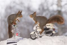 Red squirrels on traffic light and on a police motor. Red squirrels on a traffic light and on a police motor Royalty Free Stock Photo