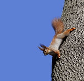 Red squirrels on tree Royalty Free Stock Images