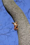 Red squirrels on tree Stock Photos