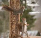 Red squirrels with a tree looking up. Red squirrels with an tree looking up Stock Photography