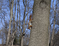 Red squirrels on tree Royalty Free Stock Image