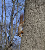Red squirrels on tree Stock Photo