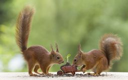 Red squirrels with a wheelbarrow with sunflower plant Royalty Free Stock Image