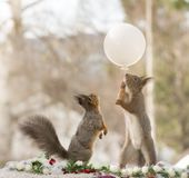 Red squirrels with a white balloon Stock Image