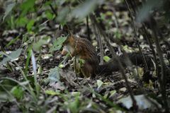 """The red squrrel (sciurus vulgaris) stands on a ground trying to find some food to hide. This adorable """"nuts hunter"""" nas been photographed royalty free stock photography"""