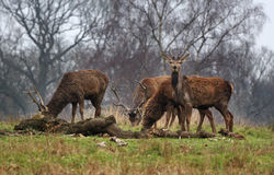 Red Stag Deer  in an English Park Royalty Free Stock Photography