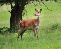 Red Stag Deer  in an English Park Royalty Free Stock Photos