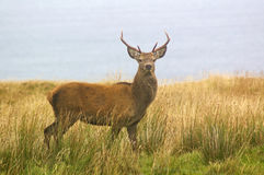 Red stag Stock Images
