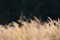Red Stag Stock Photography