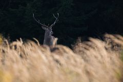 Red Stag in the meadow Royalty Free Stock Photos