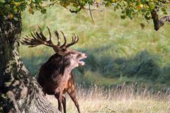 Powerful Red deer stag roaring in rutting season.