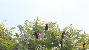 Red staghorn sumac berries on tree stock video footage