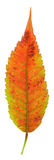 Red Staghorn Sumac Leaf Royalty Free Stock Photography