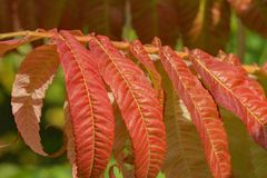 Red Staghorn Sumac Leaves – Rhus typhina Royalty Free Stock Photo