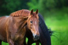 Red stallion portrait Stock Photography