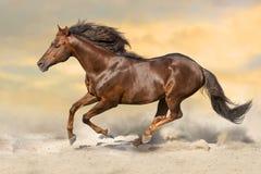 Red stallion gallops Stock Image