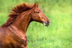 Red stallion portrait. In motion on green field royalty free stock photos