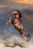 Red stallion rearing up. Red stallion with long mane rearing up in sunset dust Royalty Free Stock Images