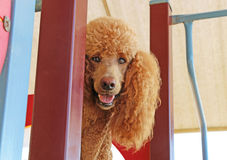 Red standard poodle with happy face Royalty Free Stock Images