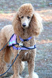 Red standard poodle with purple walking harness and lead Stock Photo