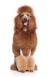 Red Standard Poodle Royalty Free Stock Photo