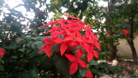 Red star colored flower. Royalty Free Stock Images