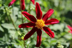 Red Star Dahlia. Honka Red Star Dahlia - flowers for several months from midsummer Stock Images
