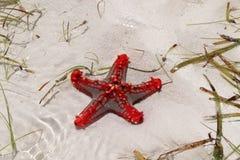 Red starfish on Diana Beach royalty free stock photo
