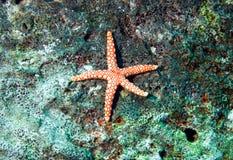 Red star fish, fromia monilis Royalty Free Stock Photos