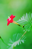Red star flower Royalty Free Stock Image