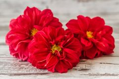 Red Star Flower Royalty Free Stock Photo