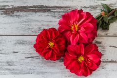 Red Star Flower Royalty Free Stock Photos