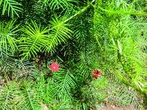 Red star flower. Scarlet cypress vine. Ipomoea quamoclit. Summer flower Royalty Free Stock Photos