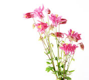 Red Star Flowers stock images