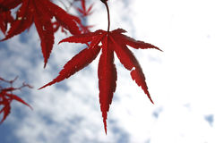 Red Star Leaf. And sky stock photo