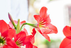 Red star lily flower. Beautiful red star lily flower Stock Photography