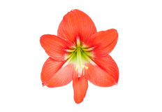 Red star lily flower Royalty Free Stock Image