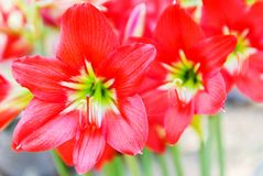 Red Star Lily Royalty Free Stock Photography