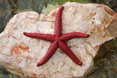 Red starfish Royalty Free Stock Photo