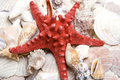 Red starfish Stock Photography