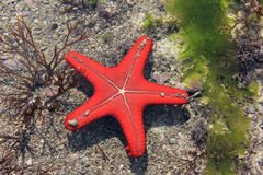 Free Red Starfish Royalty Free Stock Photography - 26183087