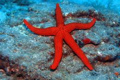 Free Red Starfish Royalty Free Stock Photo - 31691795