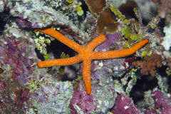 Red starfish. (Linckia multifora). Maldives. Indian ocean. Addu atoll stock photography