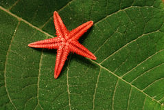 Red starfish Royalty Free Stock Photos
