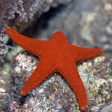 Red starfish. (Fromia elegans). Maldives. Indian ocean. Addu atoll royalty free stock photo