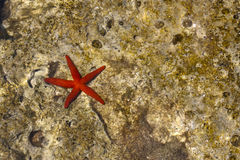 Red Starfish Background Royalty Free Stock Image
