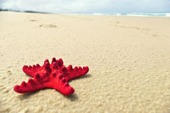 Red Starfish on Beach Background Stock Image