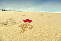 Red Starfish on Beach Background Stock Images
