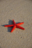 Red starfish on the beach of Campus, Sardinia royalty free stock images