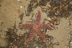 Red Starfish Stock Photos